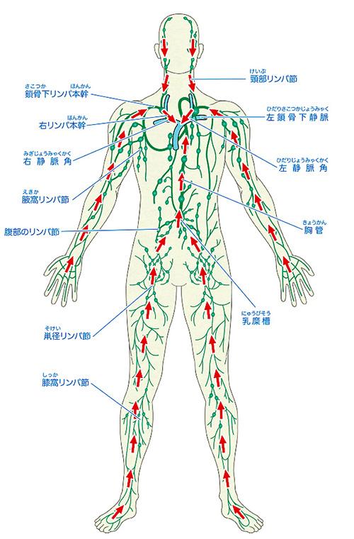 リンパ組織図解